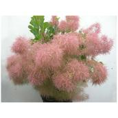 Abbotsford - Assorted Cotinus - 3 Gallons