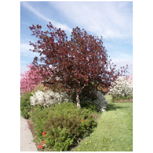 Decorative Crabapple - Assorted - 1.5 m
