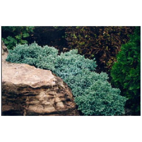 Juniperus Blue Star # 3