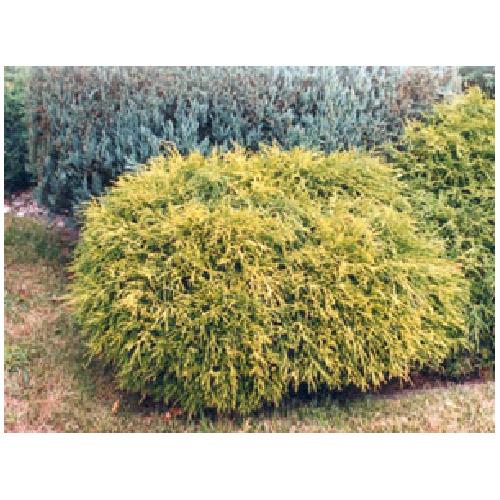 Sawara Cypress # 3