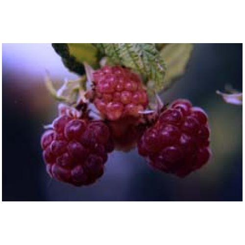 Rasberry Plant