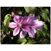 Clematis - Assorted