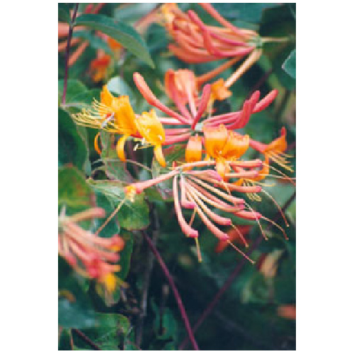 Climbing Honeysuckle - Assorted