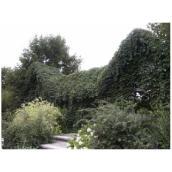 Parthenocissus Engelmanii, Abbotsford, #2