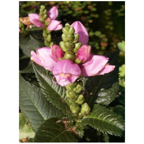 Perennial - Assorted