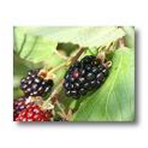 Assorted Blackberry #2