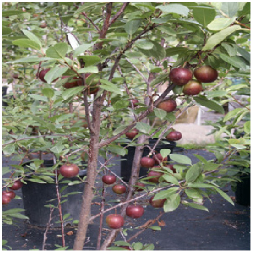 Plum Tree - 4 Varieties in 1 Tree