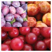 Assorted Plum Tree - # 7 Container