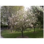 Cherry Tree - # 7