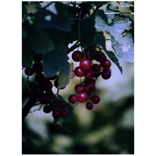Currant - #2 - Assorted