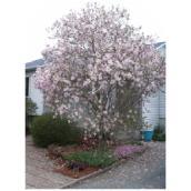 Abbotsford - Assorted Magnolia - 5 Gallon Pot