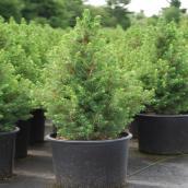 Picea Conica # 3, 24''