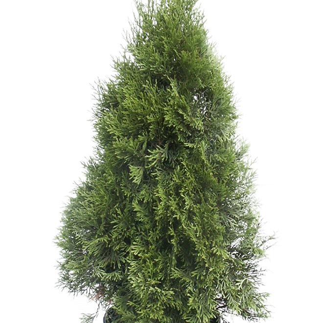 Thuya Fastigiata - 1.1 m - Green