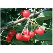 Cerisier arbustif, pot n° 2