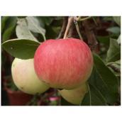 Pommier à 4 variétés de pommes