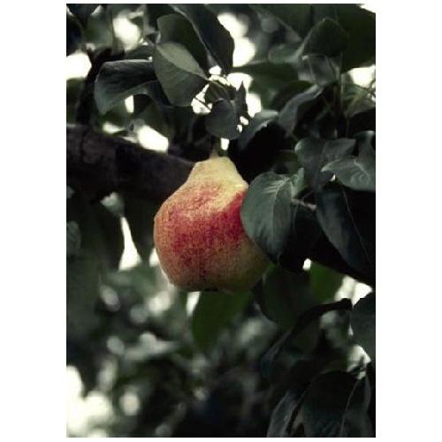 Pear Tree - 4 Pear Variety