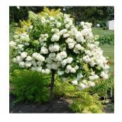 Panicle Hydrangea on Stem - 125 cm