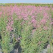 Pink Cascade Tamarix