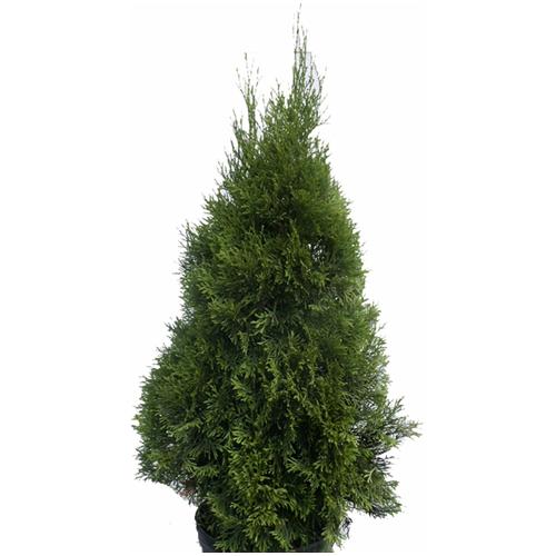 Pyramidal Cedar Occidentalis - 2-Gallon Pot