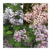 Syringa on Stem - # 7