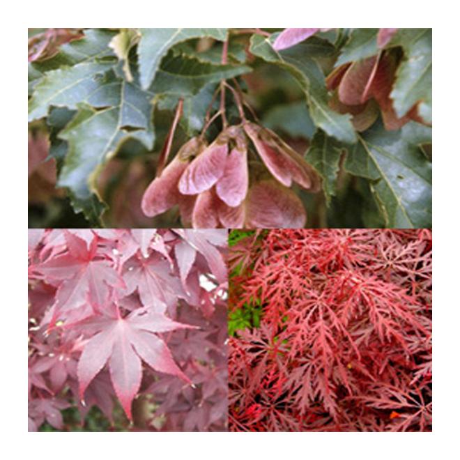 Acer Palmatum « Japanese Maple » - # 5