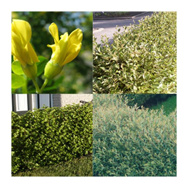 Assorted Hedge
