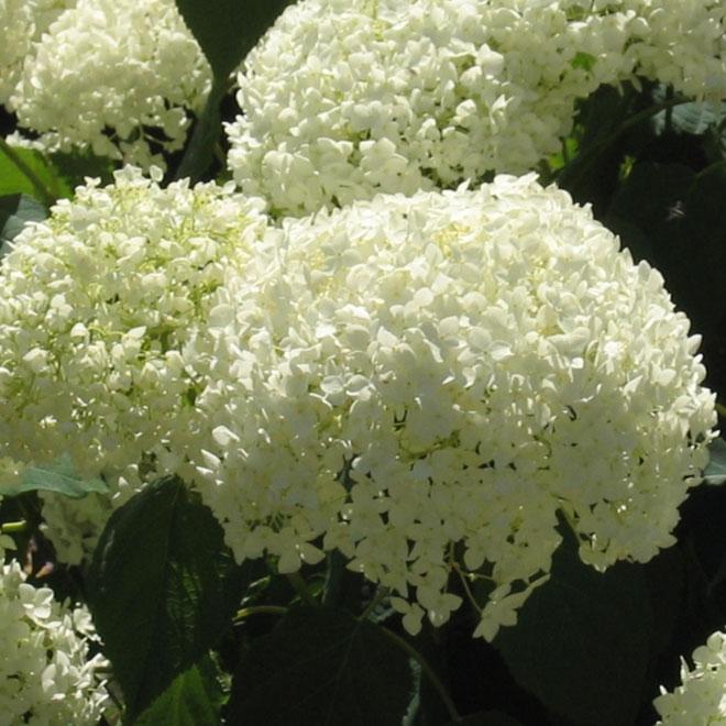 Assorted Hydrangeas