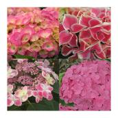 Hortensia, pot de 2 gallons