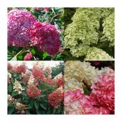 Assorted Hydrangea - Assorted - #2 Pot