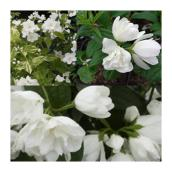 Philadelphus, variétés assorties,pot de 2 gal