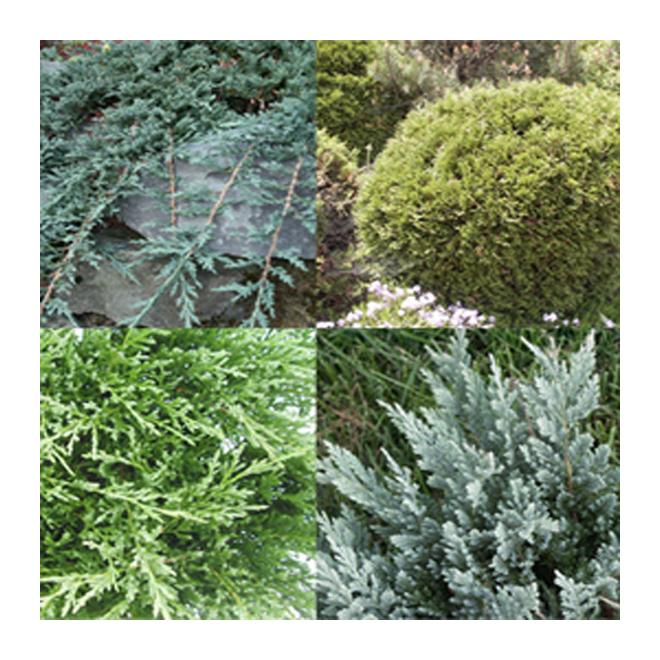Assorted Evergreens - #3
