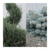 Special Evergreen Assorted #5