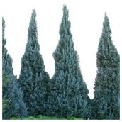Assorted Juniperus - # 5 - Green