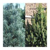 Abbotsford Pinus and Picea - Assorted - #5 Pot
