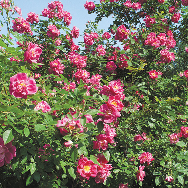 Hardy Rose Bush - #2 - Assorted Colours