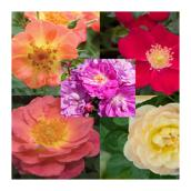Rose Bush - #2 - Assorted Colors
