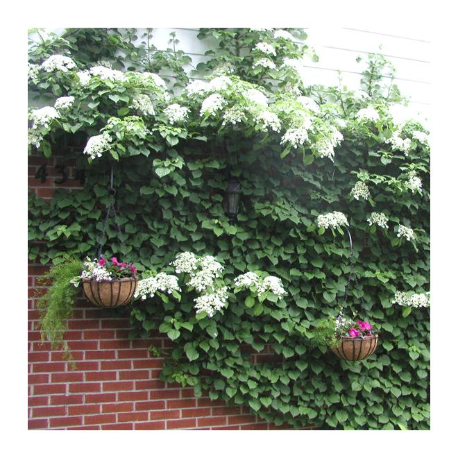 Hydrangee petiolaris, Abbotsford, pot de 2 gallons