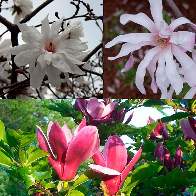 Assorted Magnolia - #2