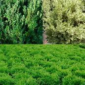 Arbuste, no 1