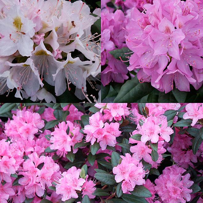 Rhododendron, assortis # 3
