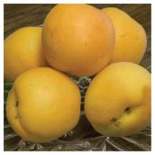 Apricot Tree - #7 - Assorted