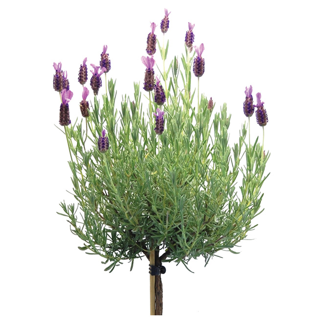 Stand Lavender