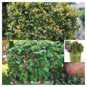 Plant de petits fruits