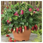 Assorted Strawberry Plant - # 1 Container