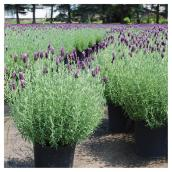 Lavender Anouk Shrub - 1-Gallon Container