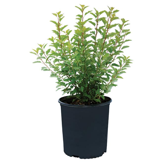 Arbuste à floraison