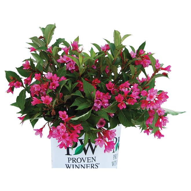 Assorted Flowering Shrub - 2-gal