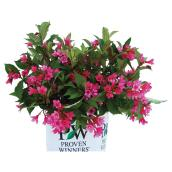 Assorted Flowering Shrub - 2-gal