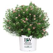 Assorted Potentilla Shrub - 2-Gallon Container
