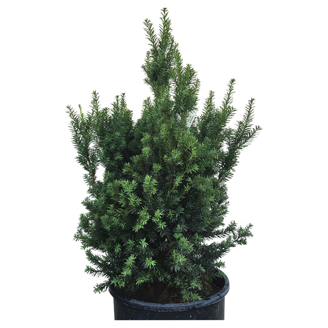 Taxus Hicksii Green Conifer - 2 Gal. Pot